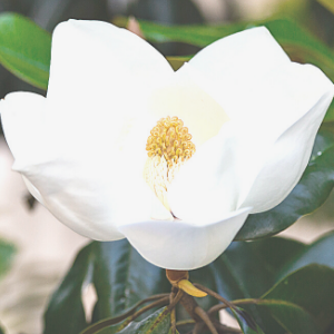 white-magnolia-flower